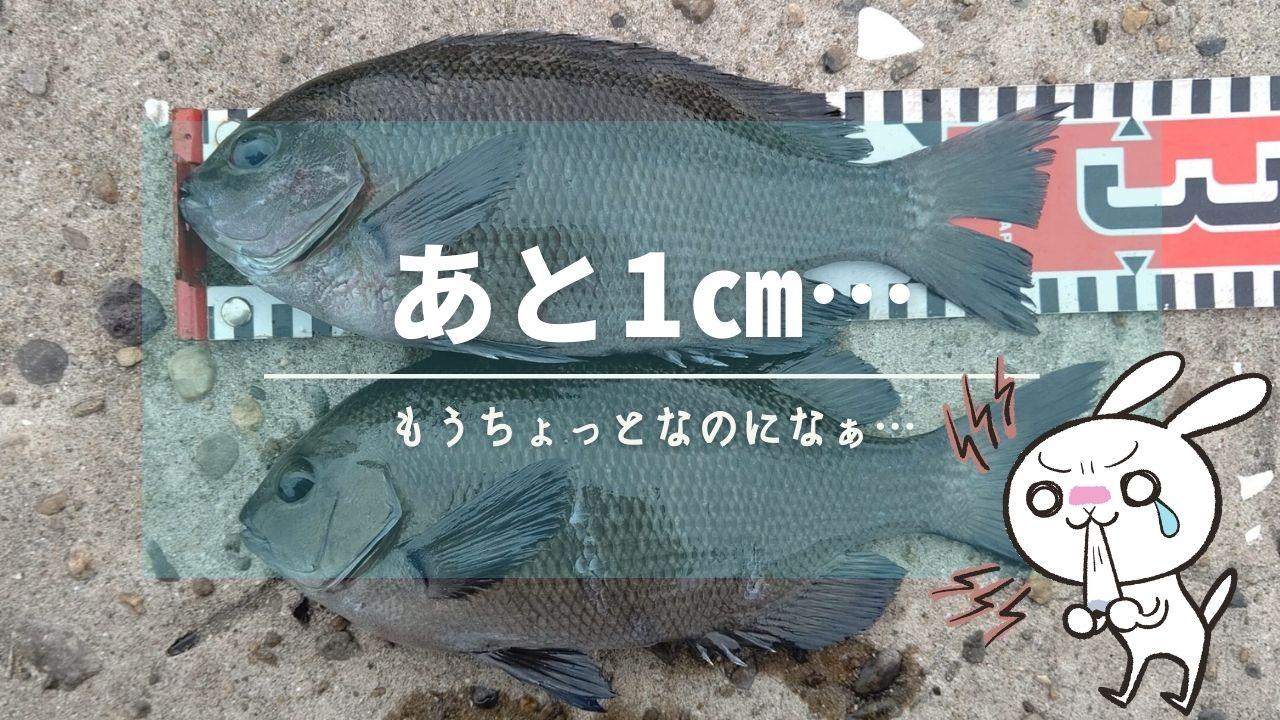 メジナ29cm